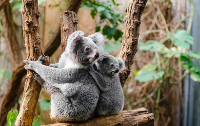 Koalas in the Wild