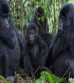 4 Days Safari: Entebbe - Bwindi National Park - Kampala